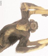 Человекообразные обезьяны имеют с нами общие корни